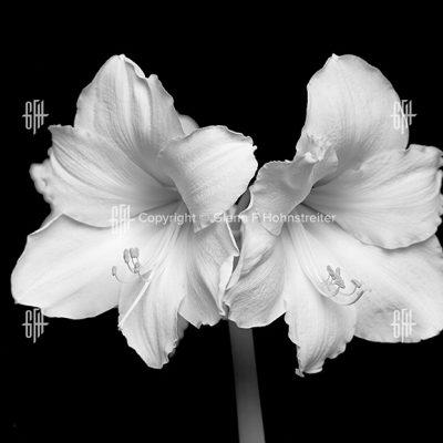 White Amarlyllis